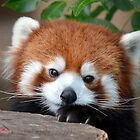 Shy Red Panda by sketchpoet