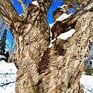 Old Willow Tree, Stanley Ave. Park, Ottawa, ON Canada by Shulie1