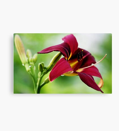 Daylily (Ruby Spider) Canvas Print