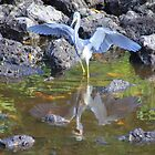 Tricolored Heron Reflection by Rosalie Scanlon