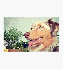 AS red merle Photographic Print