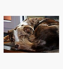 AS red merle sleeping second Photographic Print