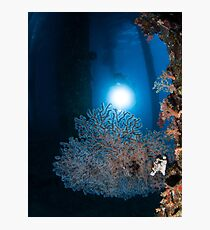 Anthogorgia caerulea coral. Photographed in the Red Sea, Israel  Photographic Print