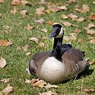 Canadian Goose Sitting by Lori Peters