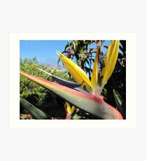 King Bird of Paradise. Colin Cambells Mem. Garden. Brisbane. Qld. Art Print