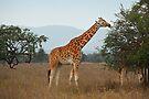 Rothschild's Giraffe Feeding, Lake Nakuru, Kenya by Carole-Anne