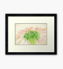 Pastel Pink Zinnia Framed Print