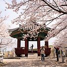 Cherry Blossoms in Seoul's Olympic Park by koreanrooftop