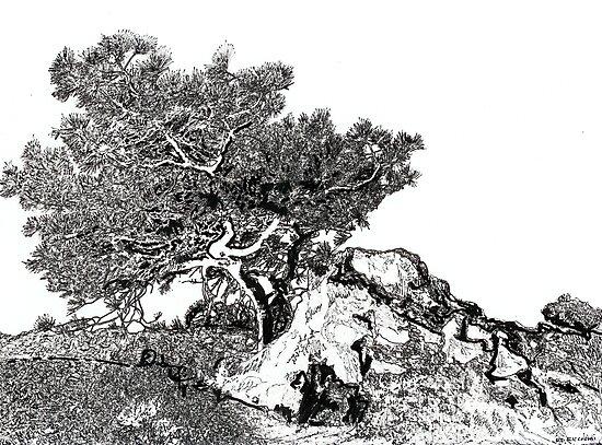 Torrey Pine Tree Picture by Rd Riccoboni by RDRiccoboni