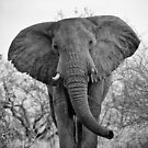 AFRICAN ELEPHANTS IN MONO by Shannon Wild