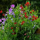 Sweet Peas over the Fence by Gabrielle  Lees