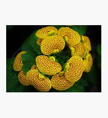 Calceolaria Photographic Print