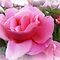 *A Pink Beauty/ One single Rose - Enchanted Flowers
