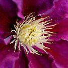 Purple Beauty  clematis center  by Karen  Betts