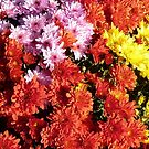 Three chrysanthemums in one pot  by bubblehex08