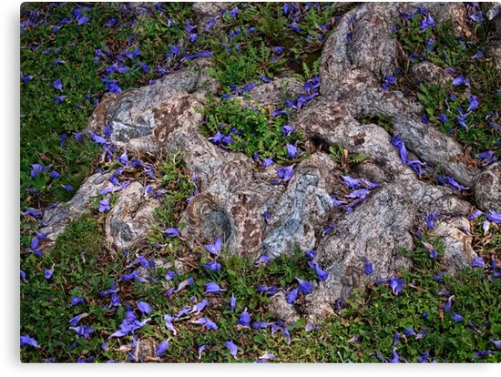 Jacaranda blossoms scattered among the roots by Celeste Mookherjee