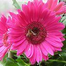Pink Gerbera Daisies with Honeybee by Caren