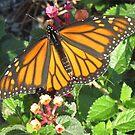 Monarch Butterfly by Caren