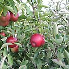 Red Apples by Melissa Delaney