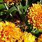 BUGS/ANIMALS ON ORANGE FLOWERS or CHRYSANTHEMUMS
