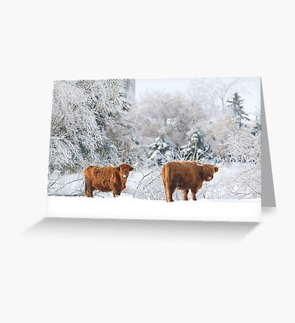 Highland Cattle in winter Greeting Card