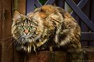 Main Coon girl sittin' pretty by © Kira Bodensted