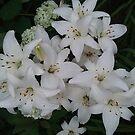 Michigan Summer Lilies by revdrrenee
