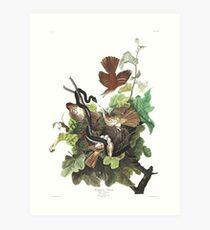 Brown Thrasher - John James Audubon Art Print