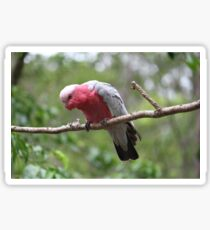 Galah Sticker