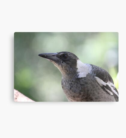 Young Australian Magpie Metal Print