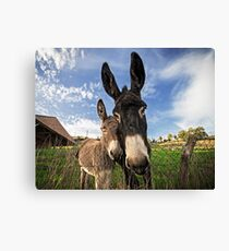 Donkeys! Canvas Print