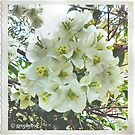 Bougainvillea in White by George Petrovsky