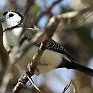 Double-barred Finch by triciaoshea