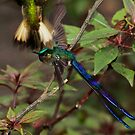 Violet-Tailed Sylph - Mindo Cloud Forest Ecuador by john  Lenagan