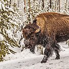Scary Bison (Bison bison) or Buffalo by Sue Smith