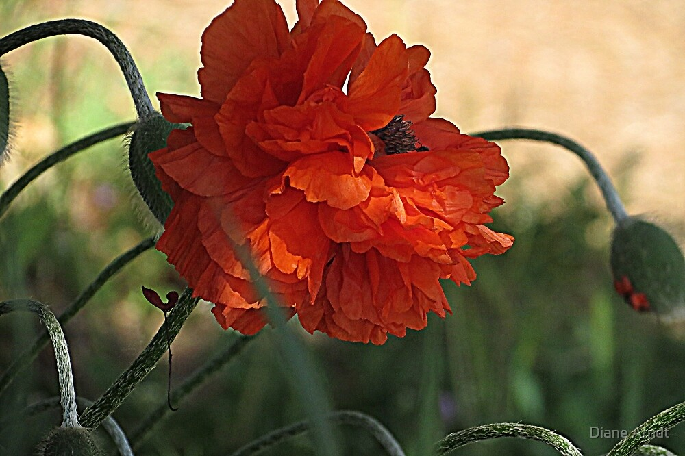 Poppy Perfection by Diane Arndt
