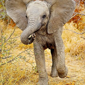 African Elephant (Loxodonta africana) baby by ShannonPlummer