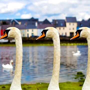 Galway Swans  (Long Walk)  by shopstreet