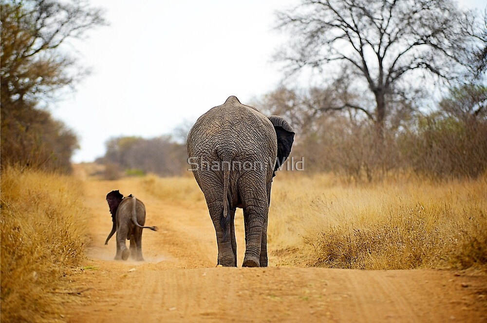 African Elephant (Loxodonta africana) mother and baby by Shannon Wild