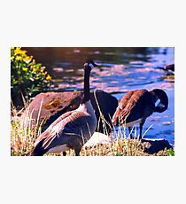 Wedded Bliss, Canada Geese in Springtime Photographic Print