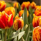 Orange and Yellow Tulips by SusanAdey