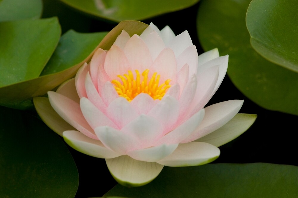 Pink Lotus with in pond. by sanyi
