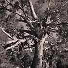 Big Old Eucalyptus Tree By Lorraine McCarthy by Lozzar Landscape