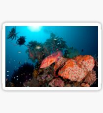 Coral Cod patrolling the reef Sticker