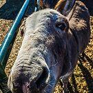 Donkey Knows by Richard Bozarth
