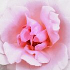 Pink Flower | Flowers | Light Pink Rose | Nature Photography | Nadia Bonello by Nadia Bonello