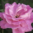 Satin Rose by Gilberte