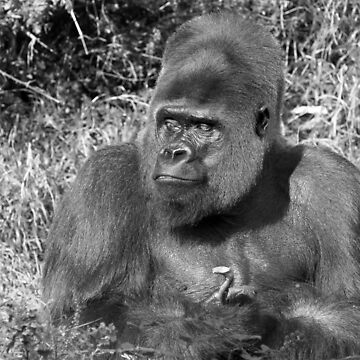 """A gorilla """"Silver Back"""" (11 n&b) (h) who is the star of the day .... by caillaudolivier"""