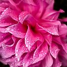 Pink dahlia in the rain by Celeste Mookherjee