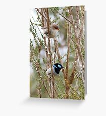 Superb Blue Wren, male and female - Malurus cyaneus Greeting Card